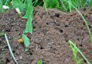 Муравейник на грядке: что делать и как избавиться от муравьев народными средствами
